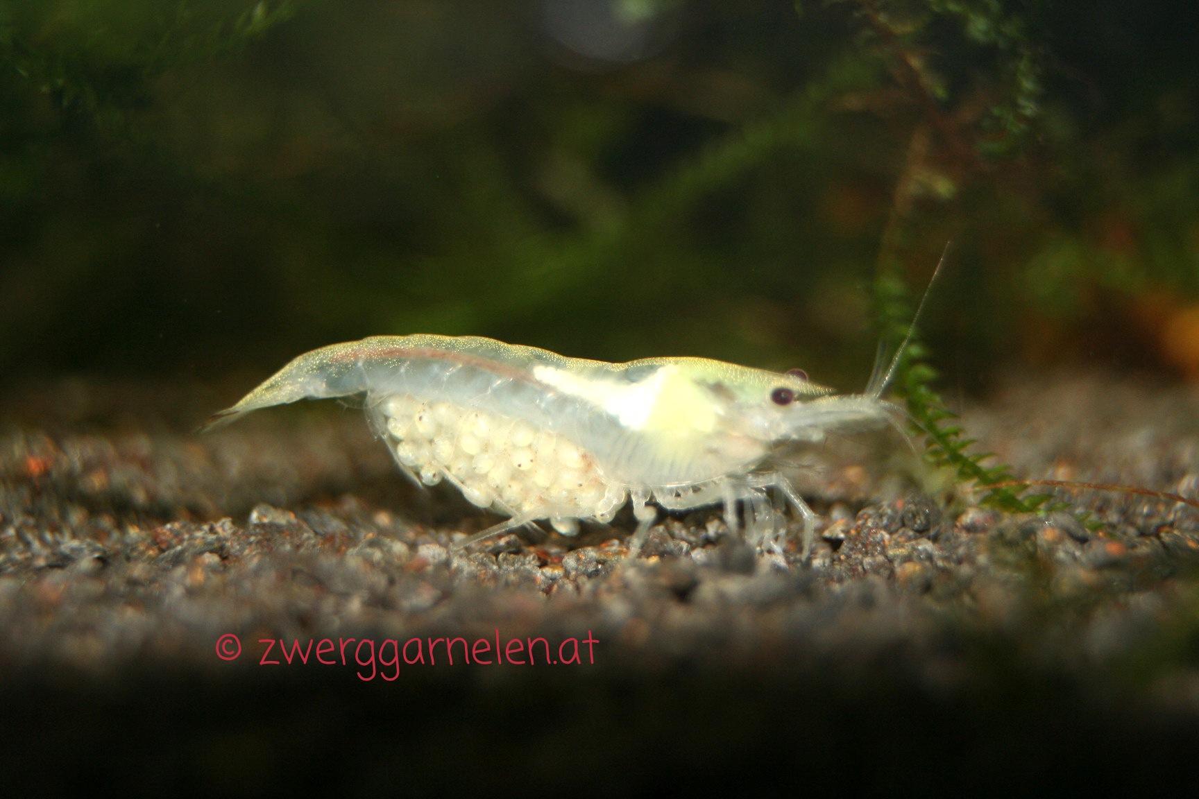 White Pearl Garnele